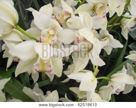 Rare White Orchid