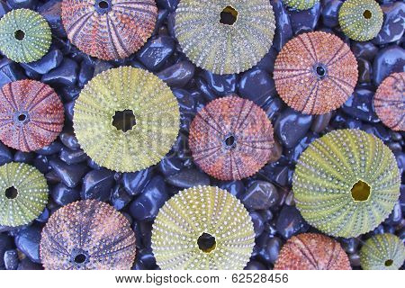 sea urchins on black pebles beach natural background