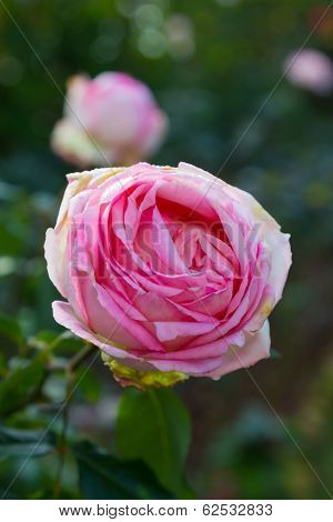 Single Big Pink Rose Isolated On Garden Vertical Background