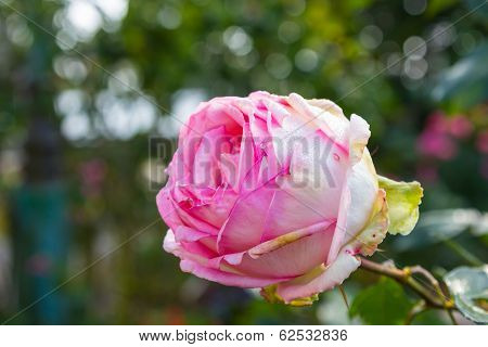 Closeup Big Pink Rose Isolated On Garden Background