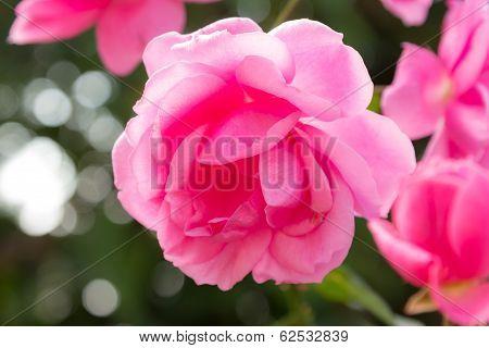 Closeup Of Milrose Medium Pink Colour