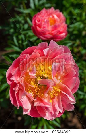 A beautiful garden hybrid peony in a rich coral color.