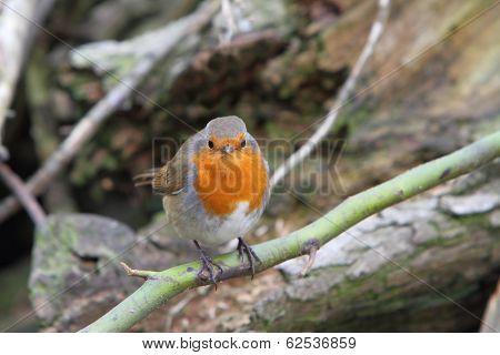 European Robin (enthacus Rubecula)