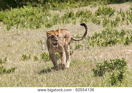 Lioness in Tanzania