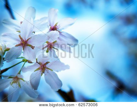Cherry blossoms in blue.  Impressional cherry blossom . Shallow depth of field.