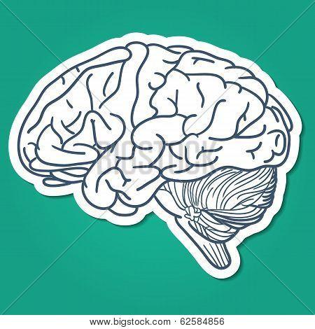 Anatomical brain human organ.