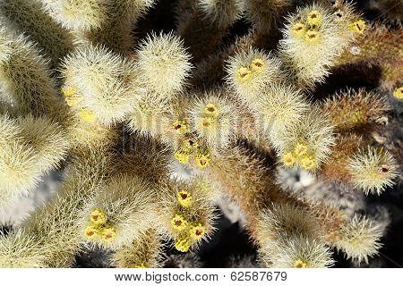 Cholla cactus up close