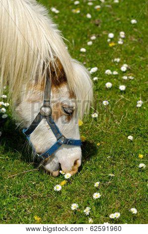 A young horse is eating green grass