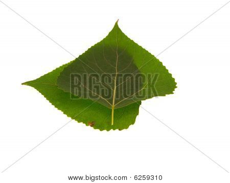 Two Green Leaves Of A Poplar