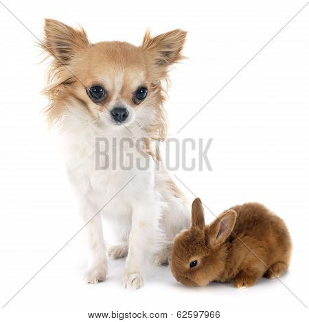 Young Rabbit And Chihuahua