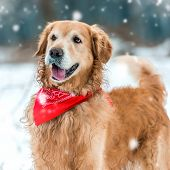picture of freezing temperatures  - retriever walk at the snow in winter park close - JPG