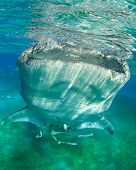 Whale Shark feeds on plankton at water surface