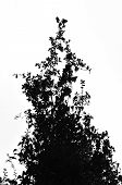 picture of creeper  - Creeper ivy plant tangled on oak shrub branches - JPG