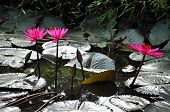 Nymphaea Pink Lotus Flower, Water Lily
