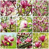 Magnolia  collage