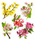foto of apple blossom  - blossoms of apple tree cherry twig forsythia - JPG