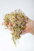 stock photo of alfalfa  - Fresh alfalfa sprouts isolated on white background - JPG