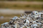 picture of oyster shell  - Pile of oyster shells in Palacios - JPG