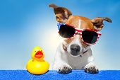 image of ducks  - dog sunbathing on ab blue towel with a plastic duck and fancy sunglasses - JPG