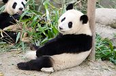 image of panda  - Giant Panda esting - JPG