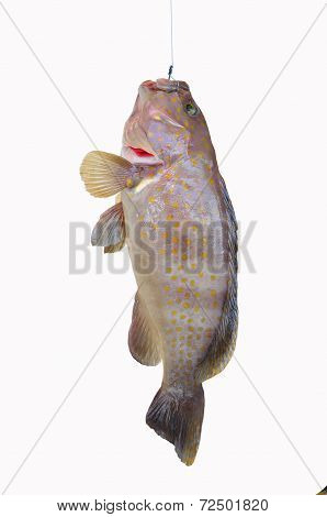 Fresh Grouper on white background,Fillet of Fish, Healthy food, Fresh fish from sea.