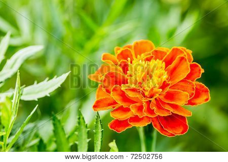 Yellow-red Flower With Green Background