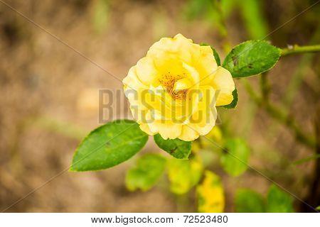 Yellow Rose In Chiangmai Thailand