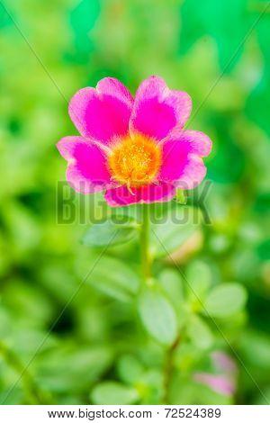 Closeup Rosemoss Or Portulaca  Flower
