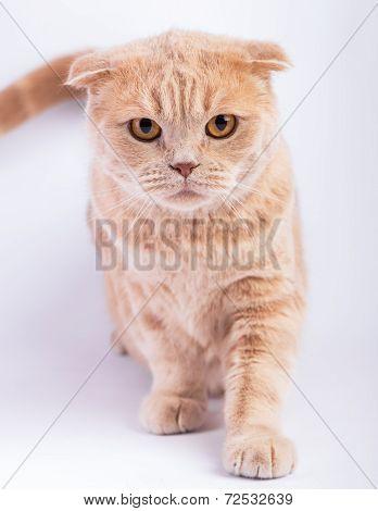 scottish fold cat crouching straight