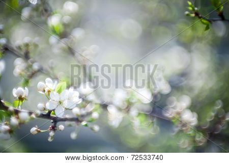 Beautiful Spring Blossoming Plum Tree