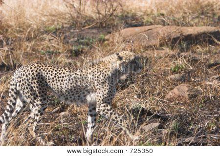 Cheetah Stalk