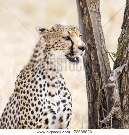 Cheetah of the Serengeti plains