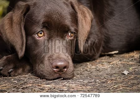 Lonely labrador puppy