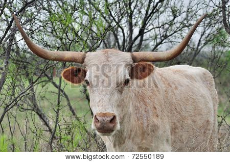 Longhorn Cow in the pasture