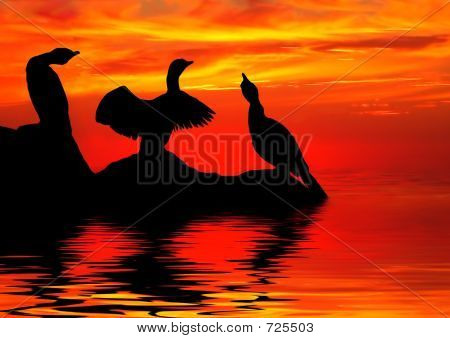 Cormorants, Silhouetted