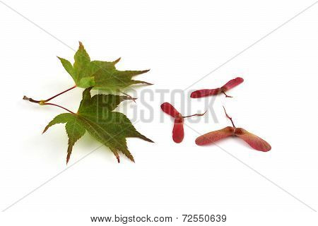 Japanese Maple Leaves And Seeds