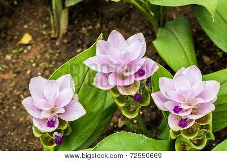 Siam Tulip Inl Chiangmai Thailand