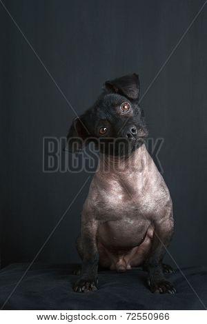 Portrait of mixed peruvian dog