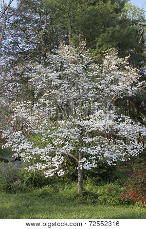 Dogwood Tree In Full Bloom