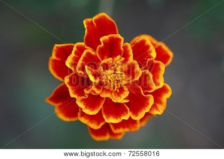 Macro of Tagetes flower