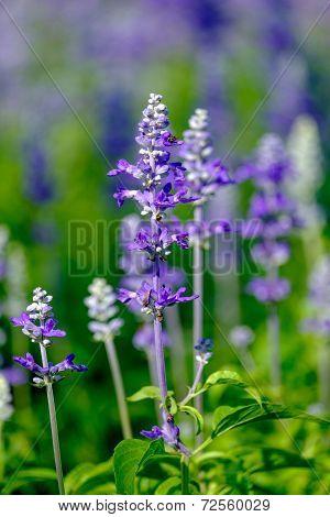 Beautiful Lobelia blue