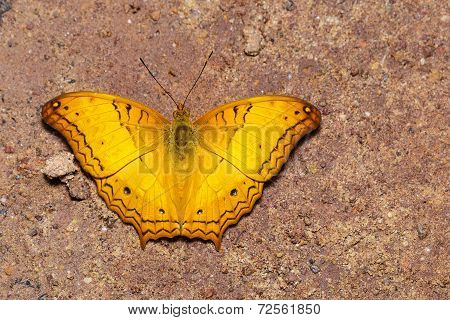 Top View Of Common Cruiser Butterfly On Sand
