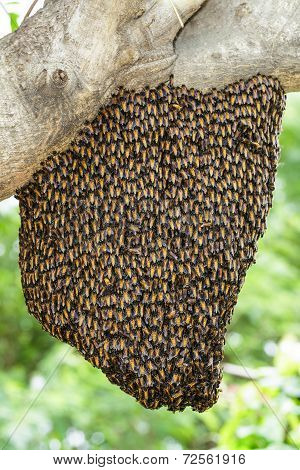 Swarm Of Royal Bee Clinging On Tree