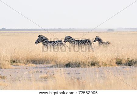 Zebras Running At Etosha Pan, Namibia
