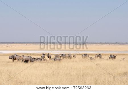 Blue Wildebeest Herd Grazing