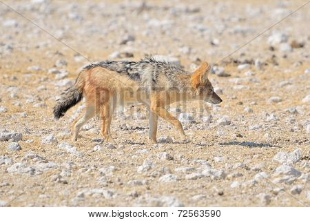 Black-backed, Silver-backed Or Red Jackal