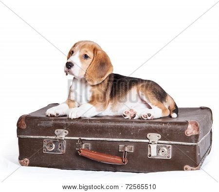 Little Beagle Puppy On The Old Suitcase