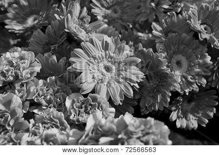 Background Of A Group Of Black And White Gerberas