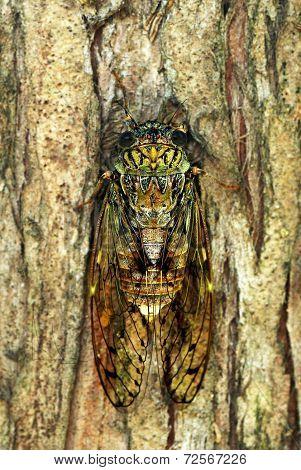 Cicada_2