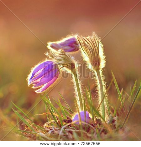 Uložit Náhled stahování Pasque Flower blooming on spring meadow at the sunset - Pulsatilla grandis